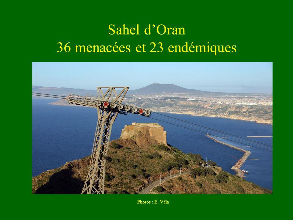 Sahel dOran 36 menacées et 23 endémiques Photos : E. Véla