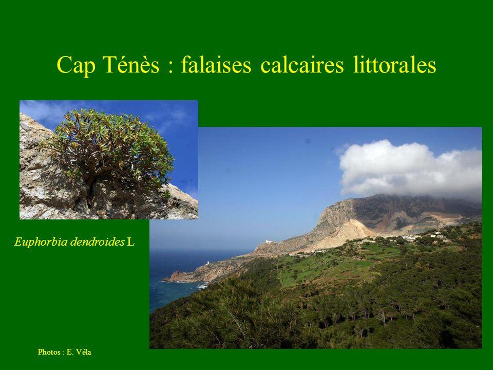 Cap Ténès : falaises calcaires littorales Photos : E. Véla Euphorbia dendroides L