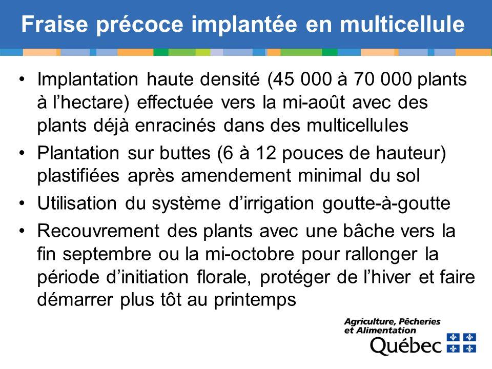 Fraise précoce implantée en multicellule Implantation haute densité (45 000 à 70 000 plants à lhectare) effectuée vers la mi-août avec des plants déjà