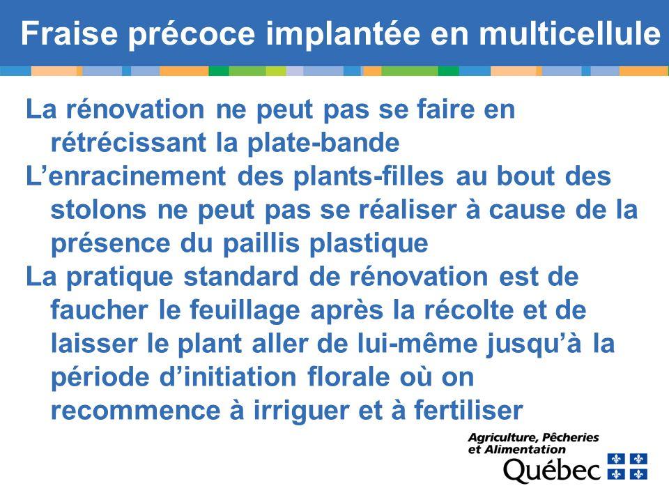 Fraise précoce implantée en multicellule La rénovation ne peut pas se faire en rétrécissant la plate-bande Lenracinement des plants-filles au bout des
