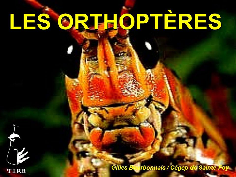 TETTIGONIIDAE (sauterelles) Antennes longues et fines Tarses à 4 articles Organes de louïe situés sur les tibias de la première paire de pattes.