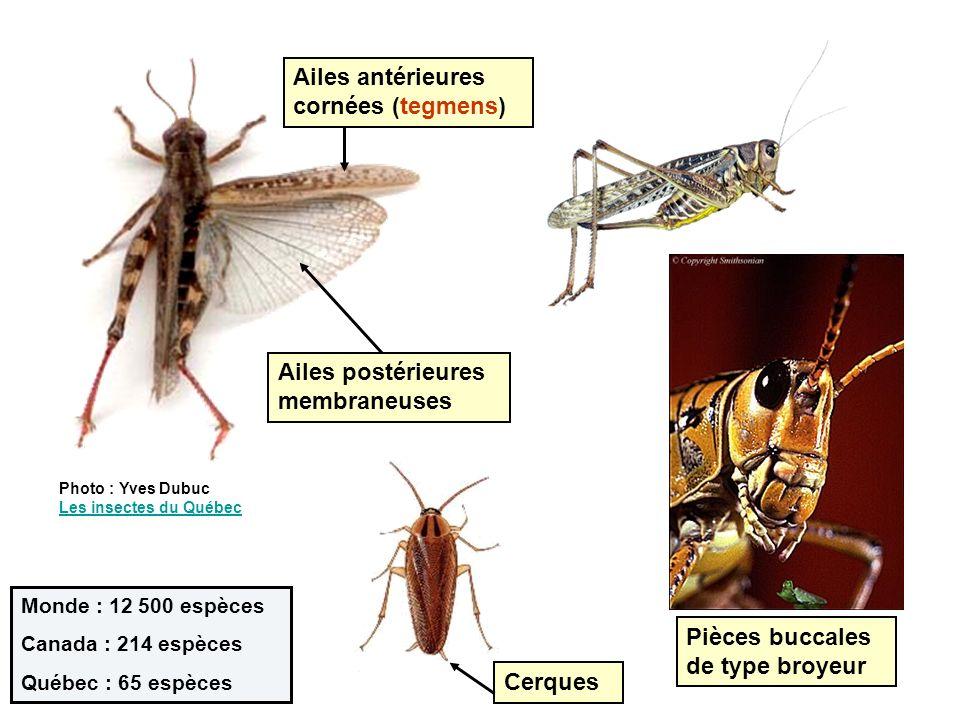 Hétérométaboles (paurométaboles) Larves et adultes généralement phytophages Plusieurs espèces aptères Beaucoup de mâles « chantent » Frottement dune « râpe » sur les tegmens.