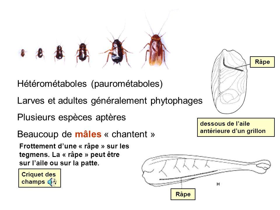 RHAPHIDOPHORIDAE (ou F.Gryllacrididae, S.F.