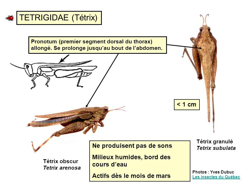 Oecanthe thermomètre Oecanthus fultoni Wlk Mâle Femelle Oecanthes (S-F Oecanthinae) (Grillons des arbres) Photo : Yves Dubuc Les insectes du Québec Les insectes du Québec C = n/8s + 5 F = n/15s + 40