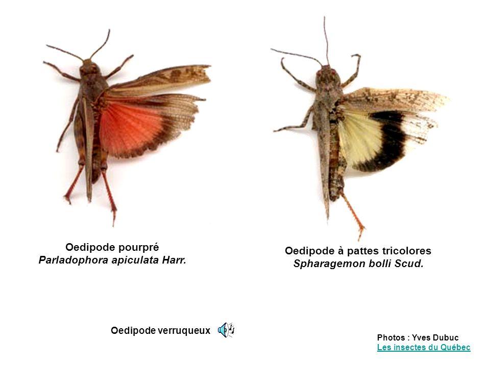 Certaines espèces peuvent devenir grégaires et former de gigantesques essaims migrateurs qui se déplacent sur de grandes distances.