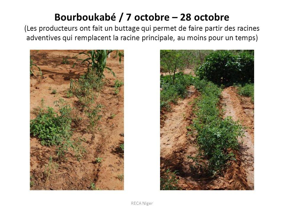 Bourboukabé / 7 octobre – 28 octobre (Les producteurs ont fait un buttage qui permet de faire partir des racines adventives qui remplacent la racine principale, au moins pour un temps) RECA Niger