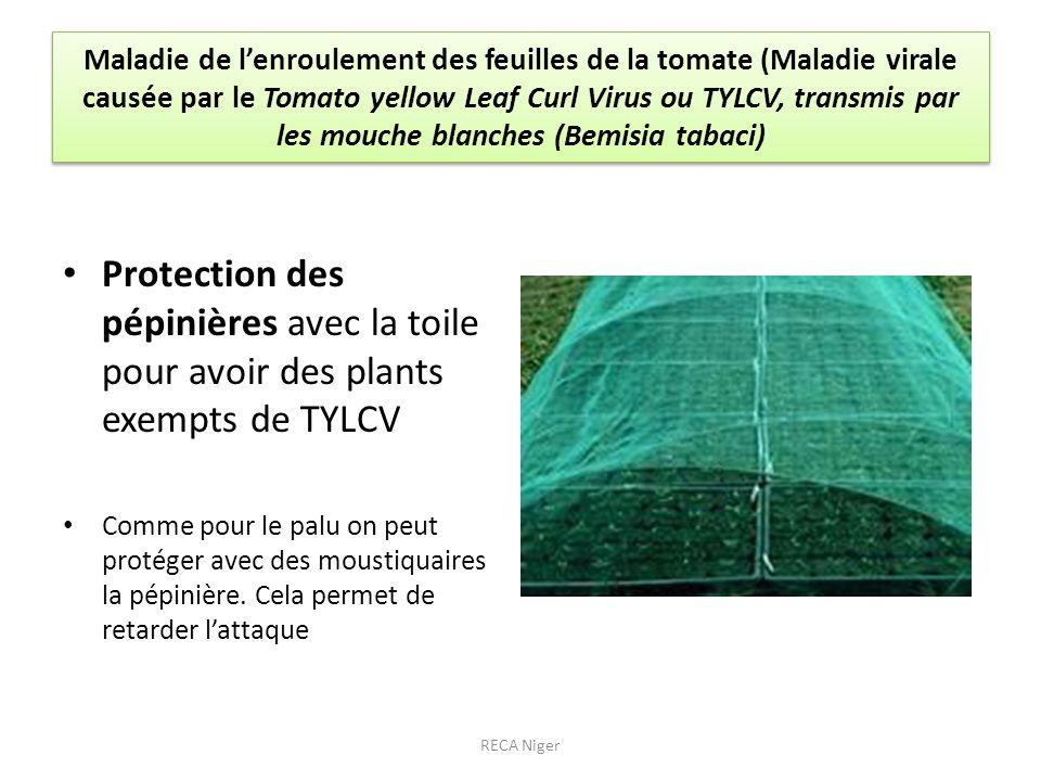 Maladie de lenroulement des feuilles de la tomate (Maladie virale causée par le Tomato yellow Leaf Curl Virus ou TYLCV, transmis par les mouche blanch