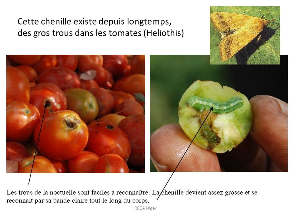 Cette chenille existe depuis longtemps, des gros trous dans les tomates (Heliothis) RECA Niger