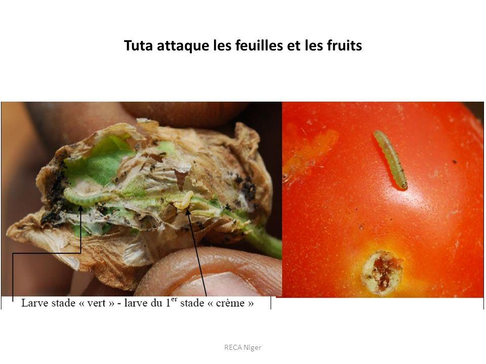 Tuta attaque les feuilles et les fruits RECA Niger