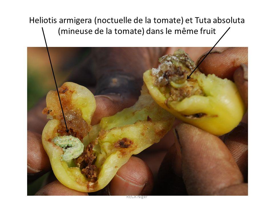 Heliotis armigera (noctuelle de la tomate) et Tuta absoluta (mineuse de la tomate) dans le même fruit RECA Niger