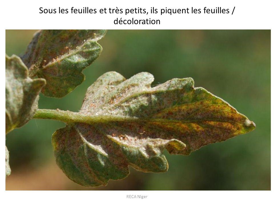 Sous les feuilles et très petits, ils piquent les feuilles / décoloration RECA Niger