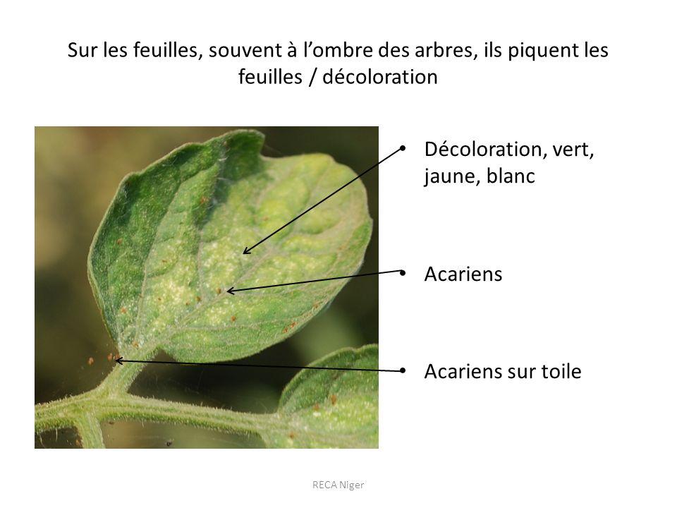 Sur les feuilles, souvent à lombre des arbres, ils piquent les feuilles / décoloration Décoloration, vert, jaune, blanc Acariens Acariens sur toile RECA Niger