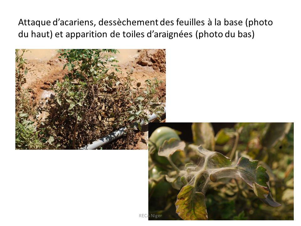 Attaque dacariens, dessèchement des feuilles à la base (photo du haut) et apparition de toiles daraignées (photo du bas) RECA Niger