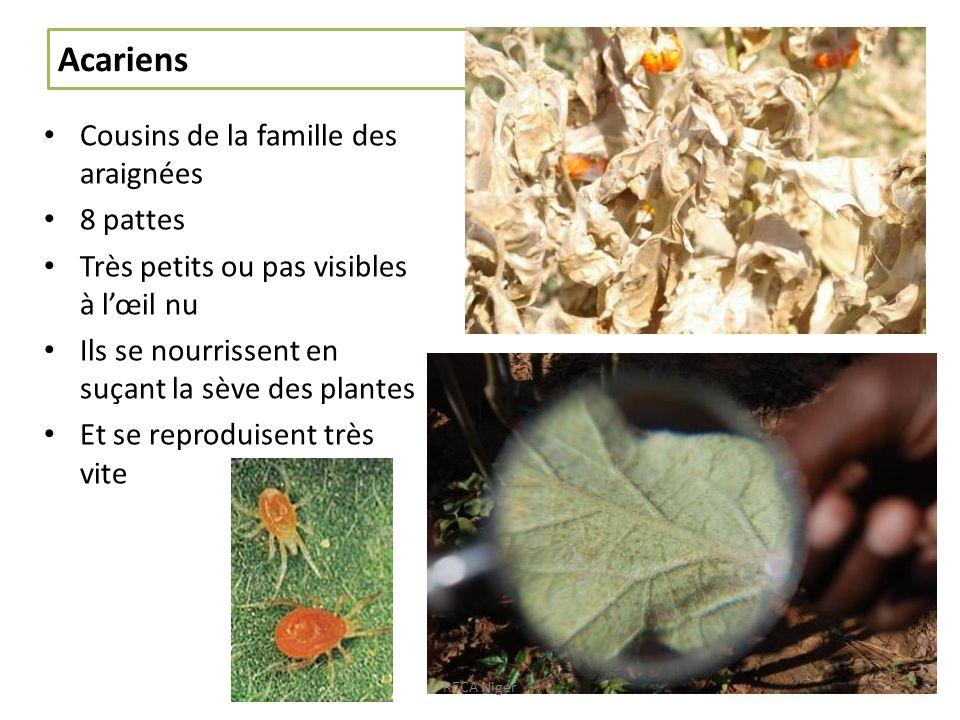 Acariens Cousins de la famille des araignées 8 pattes Très petits ou pas visibles à lœil nu Ils se nourrissent en suçant la sève des plantes Et se reproduisent très vite RECA Niger