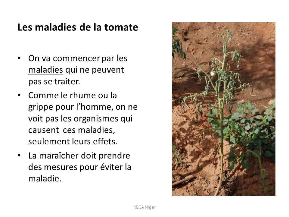 Les maladies de la tomate On va commencer par les maladies qui ne peuvent pas se traiter. Comme le rhume ou la grippe pour lhomme, on ne voit pas les