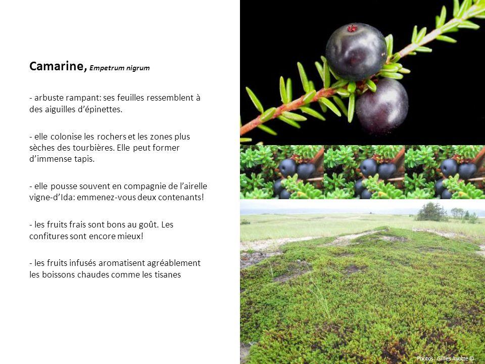 Camarine, Empetrum nigrum - arbuste rampant: ses feuilles ressemblent à des aiguilles dépinettes. - elle colonise les rochers et les zones plus sèches