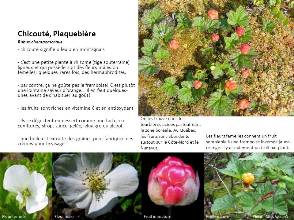 Chicouté, Plaquebière Rubus chamaemorous - chicouté signifie « feu » en montagnais - cest une petite plante à rhizome (tige souterraine) ligneux et qu