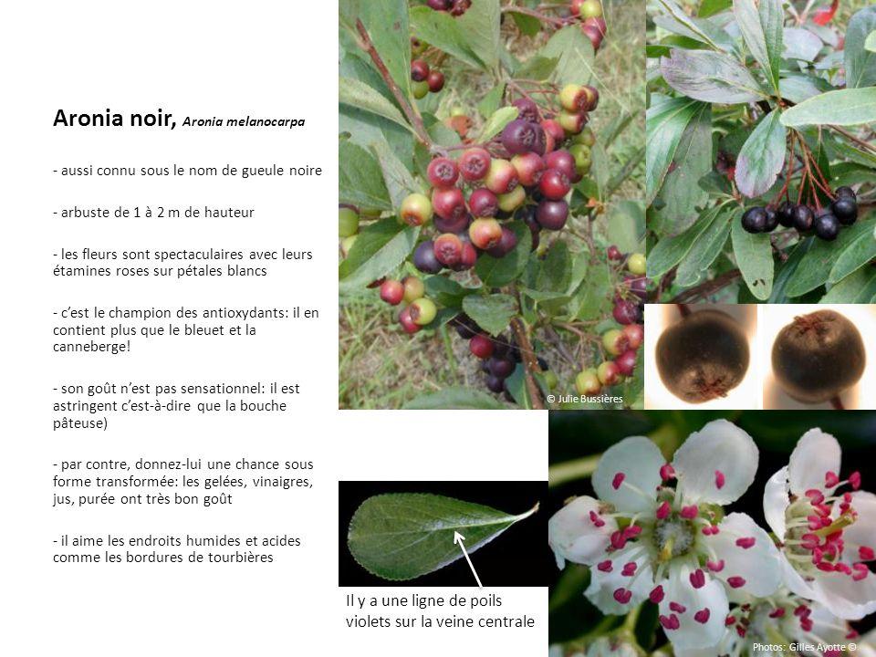 Aronia noir, Aronia melanocarpa - aussi connu sous le nom de gueule noire - arbuste de 1 à 2 m de hauteur - les fleurs sont spectaculaires avec leurs