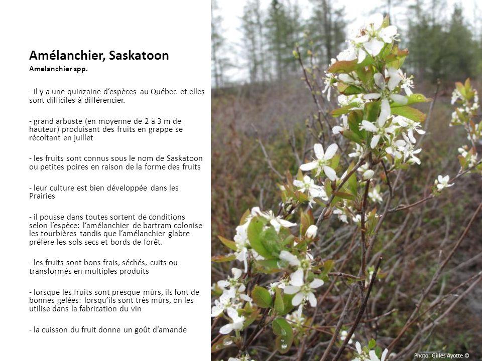 Amélanchier, Saskatoon Amelanchier spp. - il y a une quinzaine despèces au Québec et elles sont difficiles à différencier. - grand arbuste (en moyenne