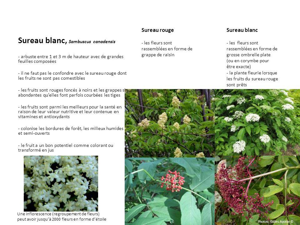 Sureau blanc, Sambuscus canadensis - arbuste entre 1 et 3 m de hauteur avec de grandes feuilles composées - il ne faut pas le confondre avec le sureau