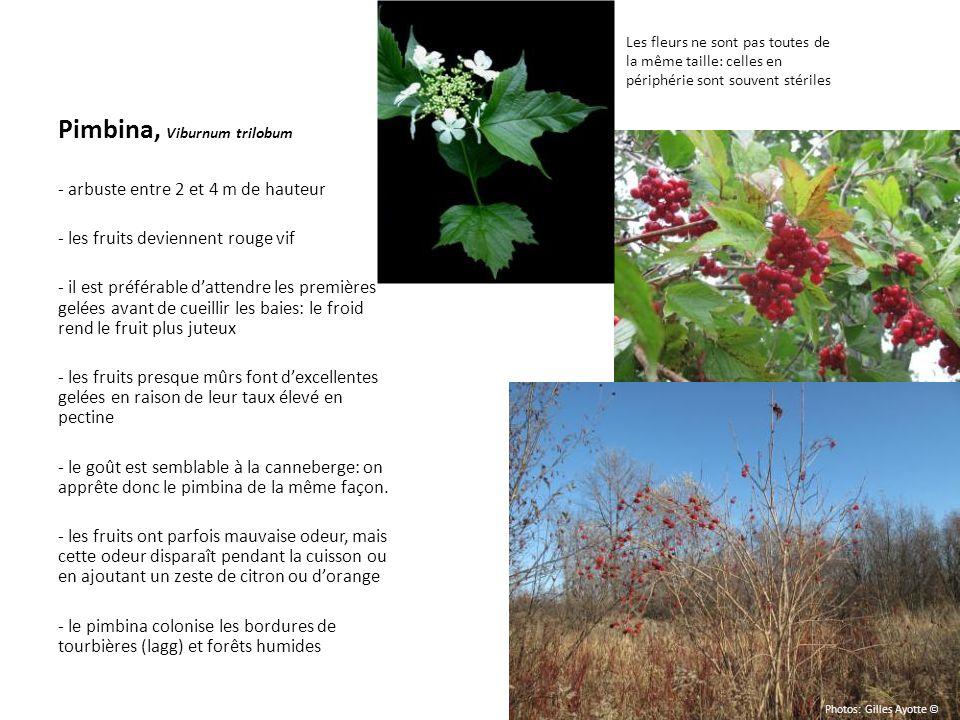 Pimbina, Viburnum trilobum - arbuste entre 2 et 4 m de hauteur - les fruits deviennent rouge vif - il est préférable dattendre les premières gelées av
