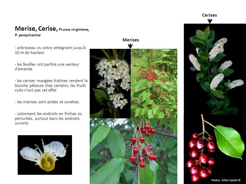 Merise, Cerise, Prunus virginiana, P. pensylvanica - arbrisseau ou arbre atteignant jusquà 10 m de hauteur - les feuilles ont parfois une senteur dama