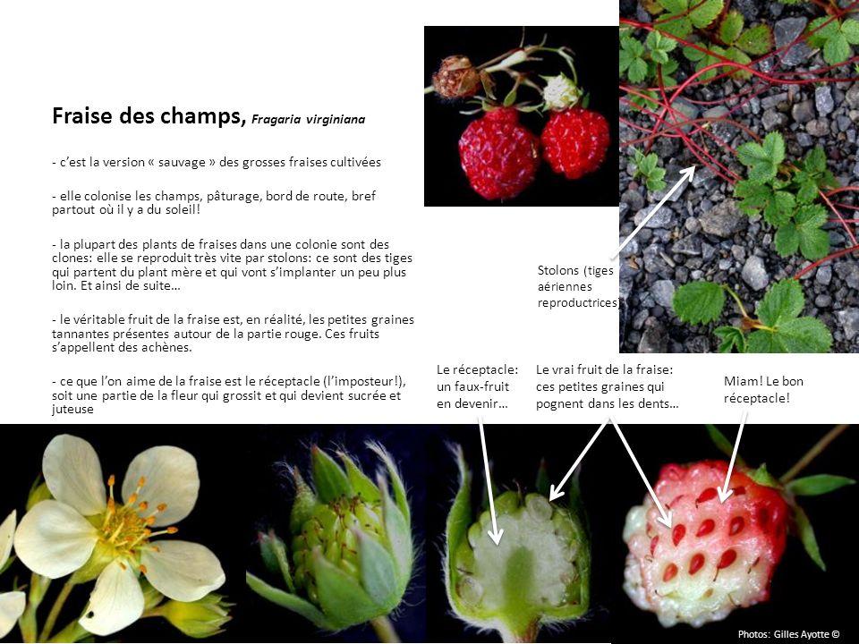 Fraise des champs, Fragaria virginiana - cest la version « sauvage » des grosses fraises cultivées - elle colonise les champs, pâturage, bord de route