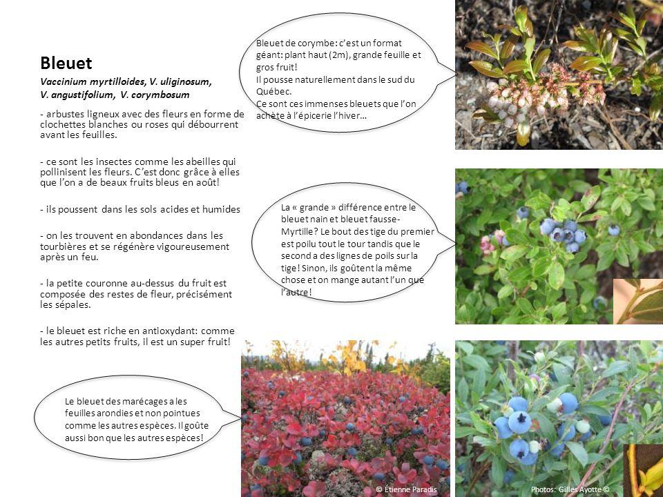 Bleuet Vaccinium myrtilloides, V. uliginosum, V. angustifolium, V. corymbosum - arbustes ligneux avec des fleurs en forme de clochettes blanches ou ro