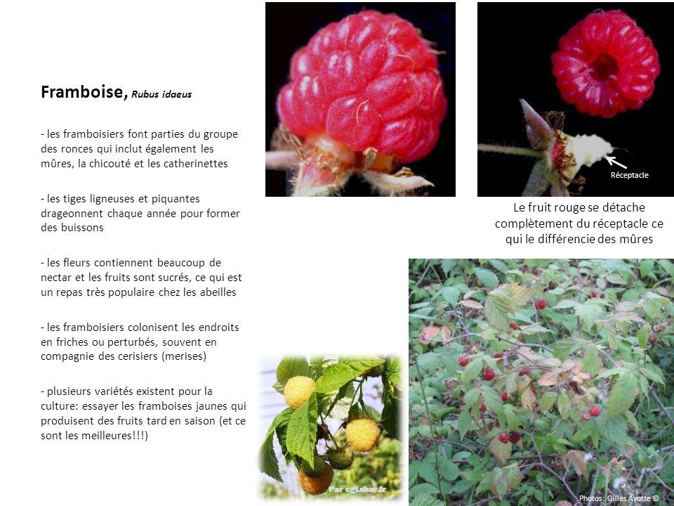 Par cgi.ebay.fr Framboise, Rubus idaeus - les framboisiers font parties du groupe des ronces qui inclut également les mûres, la chicouté et les cather