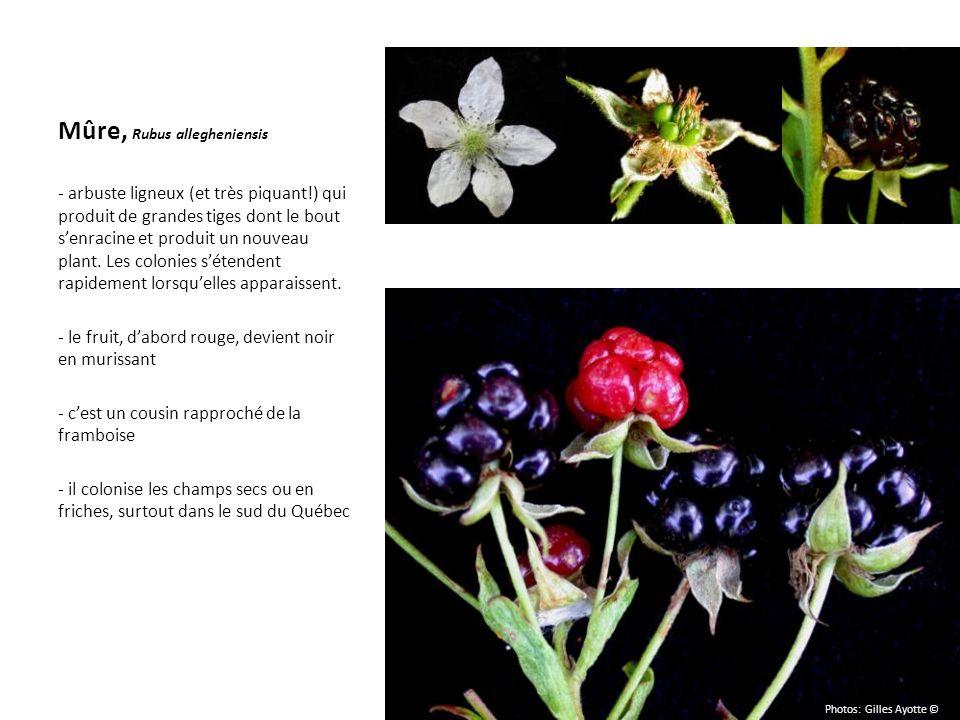 Mûre, Rubus allegheniensis - arbuste ligneux (et très piquant!) qui produit de grandes tiges dont le bout senracine et produit un nouveau plant. Les c
