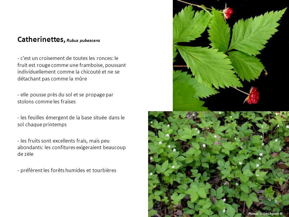 Catherinettes, Rubus pubescens - cest un croisement de toutes les ronces: le fruit est rouge comme une framboise, poussant individuellement comme la c