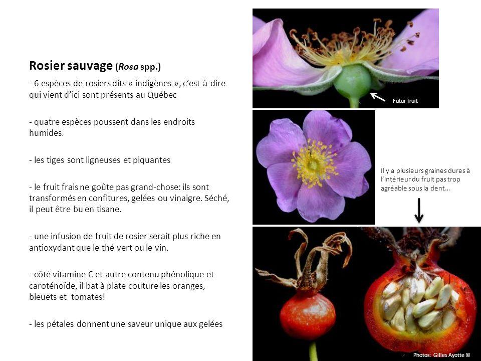 Rosier sauvage (Rosa spp.) - 6 espèces de rosiers dits « indigènes », cest-à-dire qui vient dici sont présents au Québec - quatre espèces poussent dan