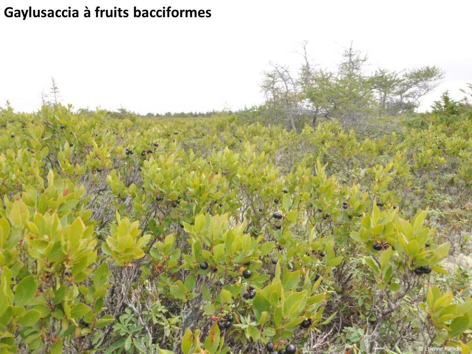 Gaylusaccia à fruits bacciformes © Étienne Paradis