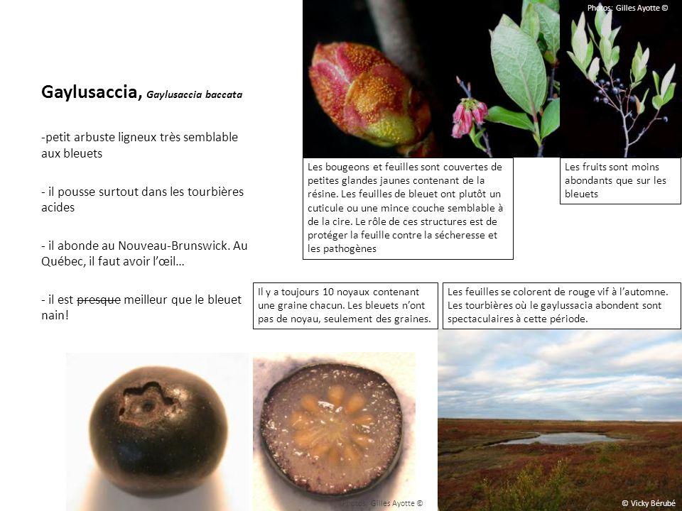 Gaylusaccia, Gaylusaccia baccata -petit arbuste ligneux très semblable aux bleuets - il pousse surtout dans les tourbières acides - il abonde au Nouve
