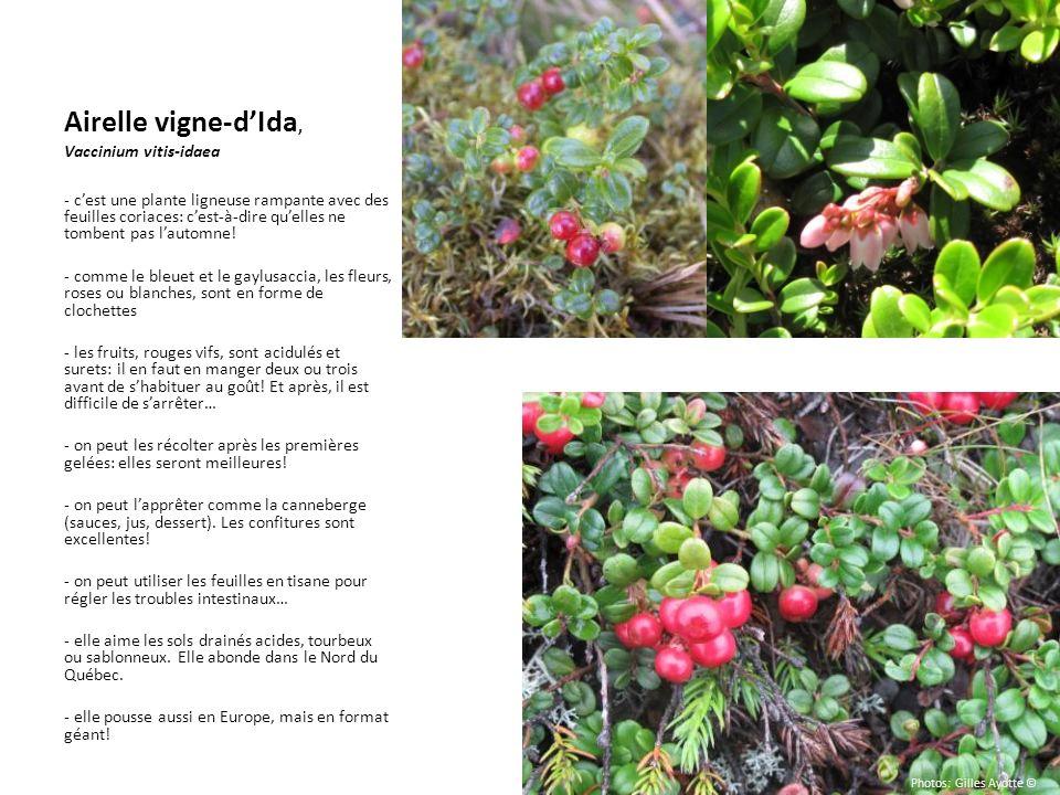 Airelle vigne-dIda, Vaccinium vitis-idaea - cest une plante ligneuse rampante avec des feuilles coriaces: cest-à-dire quelles ne tombent pas lautomne!