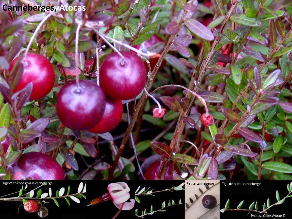 Canneberges, Atocas Petite canneberge Tige de petite canneberge Tige et fruit de grosse canneberge Photos: Gilles Ayotte ©