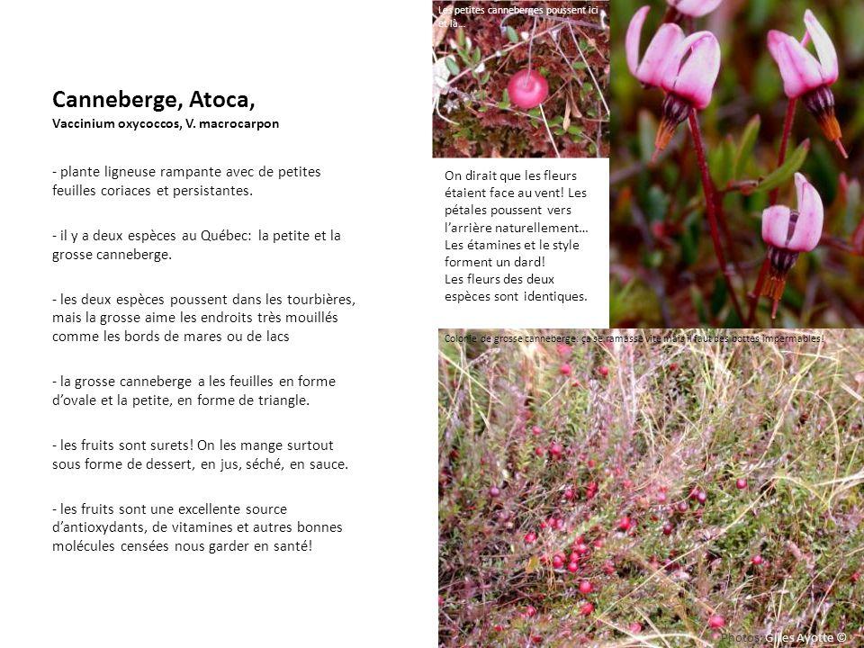 Canneberge, Atoca, Vaccinium oxycoccos, V. macrocarpon - plante ligneuse rampante avec de petites feuilles coriaces et persistantes. - il y a deux esp