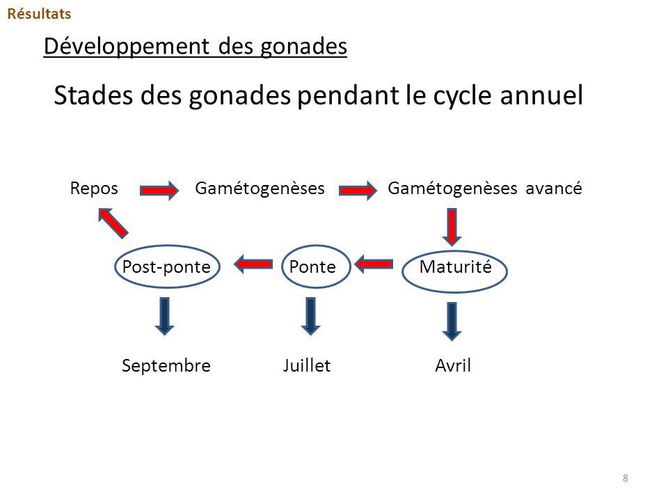 Développement des gonades Stades des gonades pendant le cycle annuel Repos Maturité GamétogenèsesGamétogenèses avancé PontePost-ponte SeptembreJuillet