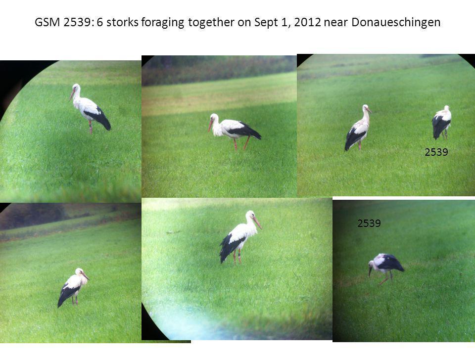 GSM 2539: 6 storks foraging together on Sept 1, 2012 near Donaueschingen 2539