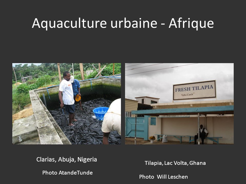 Aquaculture urbaine - Afrique Clarias, Abuja, Nigeria Photo AtandeTunde Tilapia, Lac Volta, Ghana Photo Will Leschen