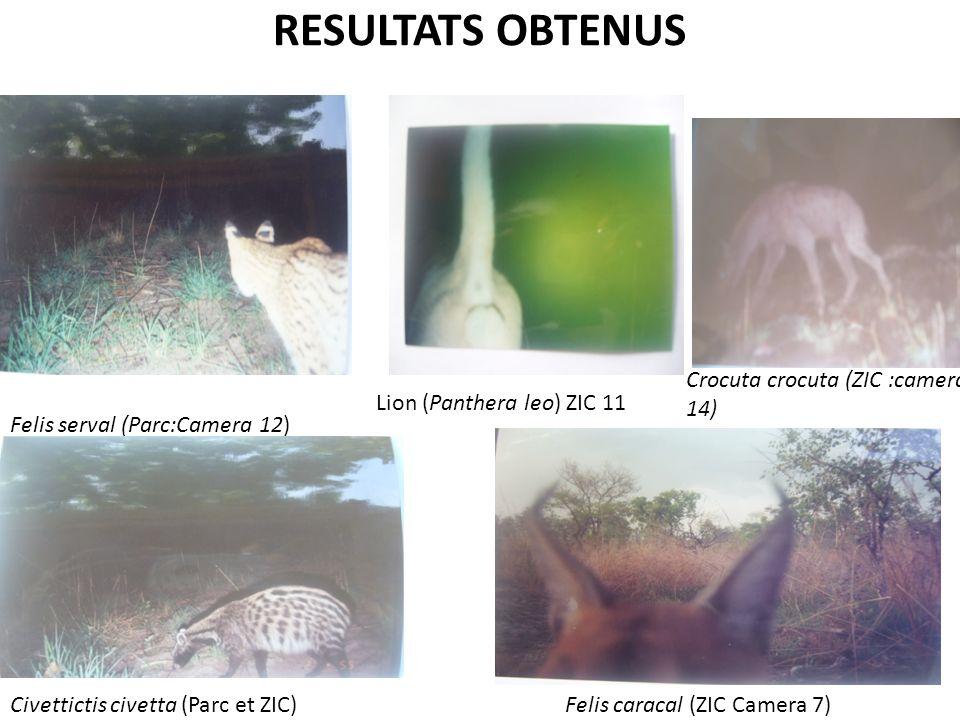 RESULTATS OBTENUS Felis serval (Parc:Camera 12) Crocuta crocuta (ZIC :camera 14) Civettictis civetta (Parc et ZIC)Felis caracal (ZIC Camera 7) Lion (P