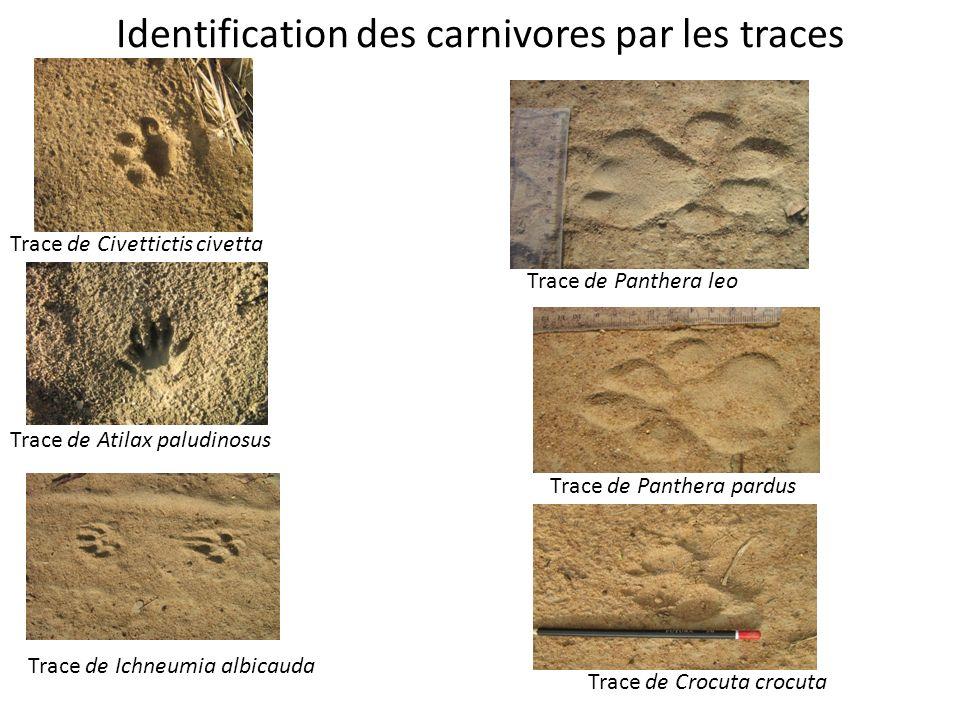 Identification des carnivores par les traces Trace de Panthera leo Trace de Panthera pardus Trace de Crocuta crocuta Trace de Civettictis civetta Trac