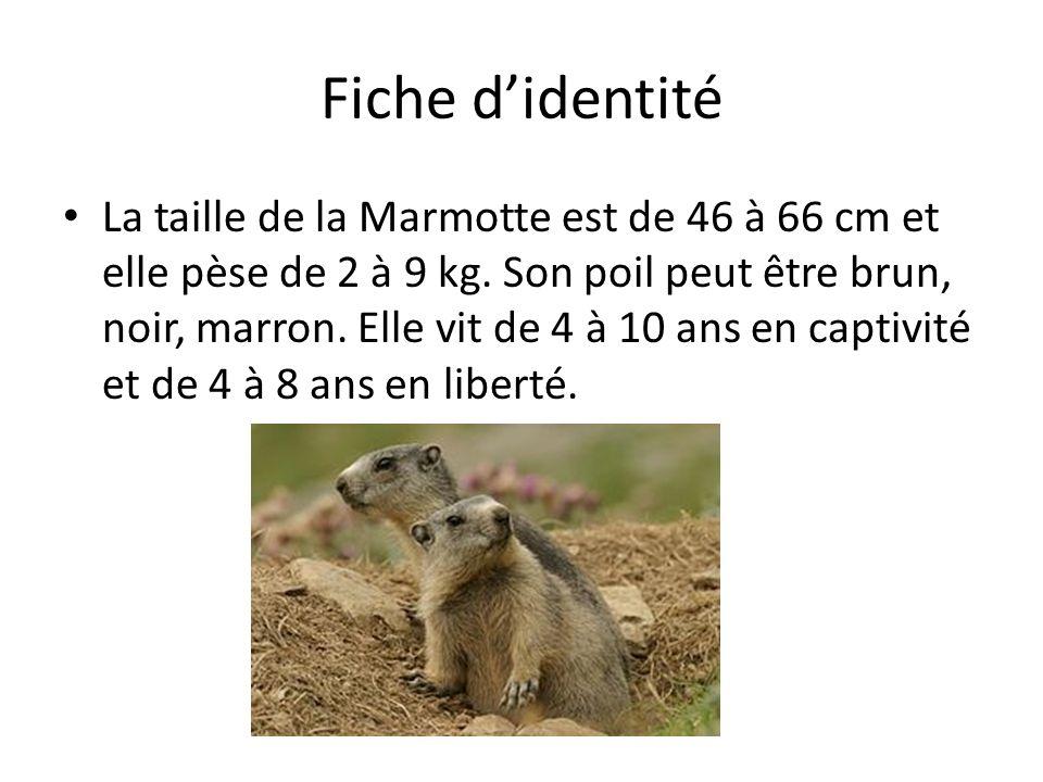 Fiche didentité La taille de la Marmotte est de 46 à 66 cm et elle pèse de 2 à 9 kg. Son poil peut être brun, noir, marron. Elle vit de 4 à 10 ans en
