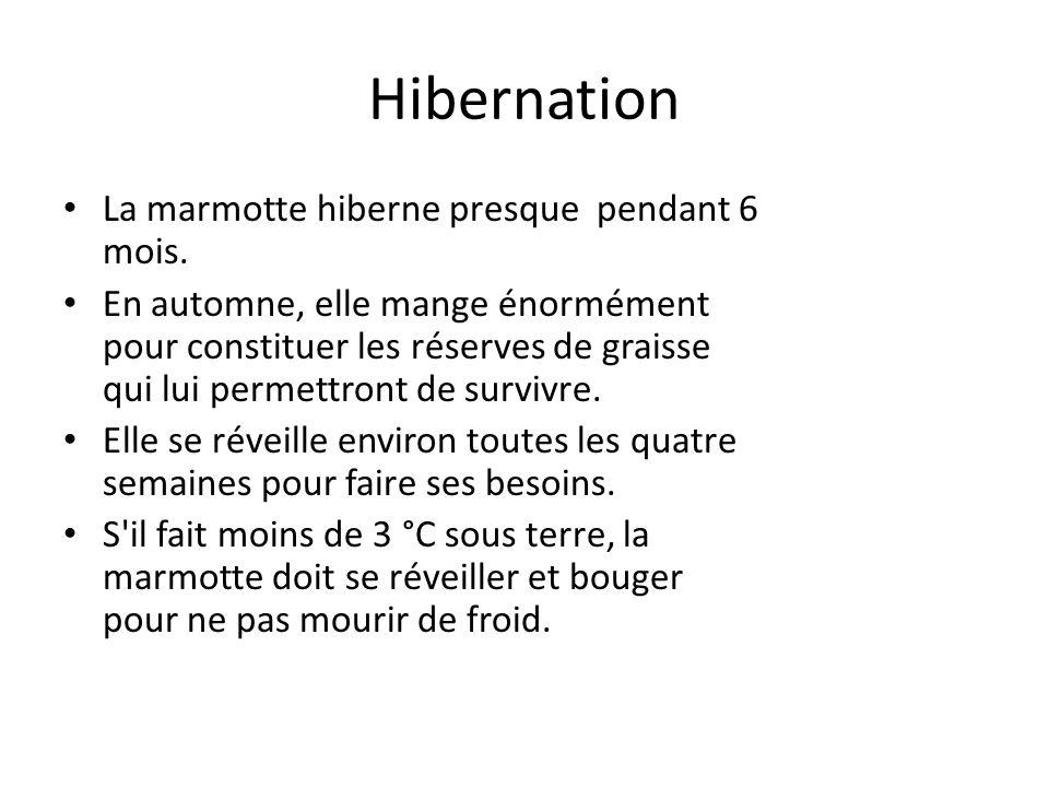 Hibernation La marmotte hiberne presque pendant 6 mois. En automne, elle mange énormément pour constituer les réserves de graisse qui lui permettront