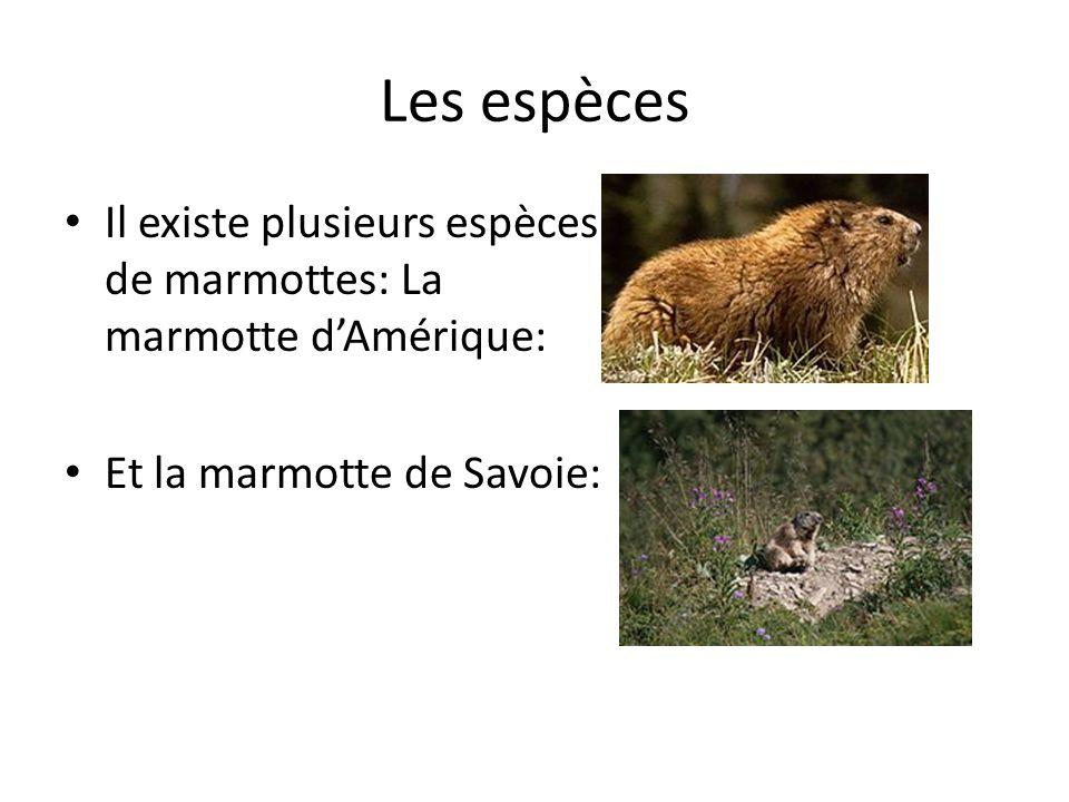 Les espèces Il existe plusieurs espèces de marmottes: La marmotte dAmérique: Et la marmotte de Savoie: