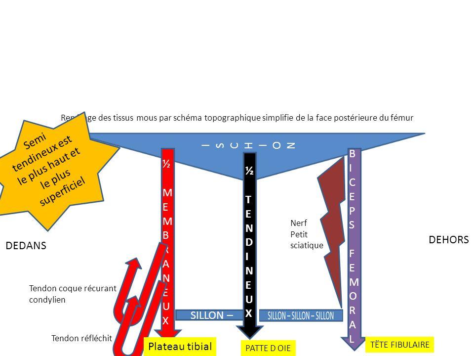 Repérage des tissus mous par schéma topographique simplifie de la face postérieure du fémur ½ MEMBRANEUX½ MEMBRANEUX DEDANS DEHORS Tendon coque récura