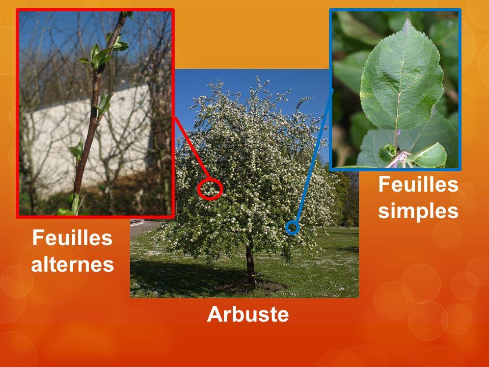 Arbuste Feuilles alternes Feuilles simples