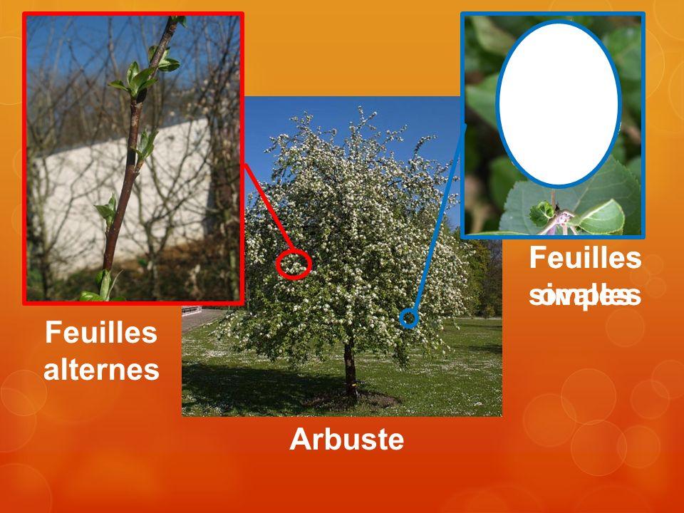 Arbuste Feuilles alternes Feuilles simples Feuilles ovales