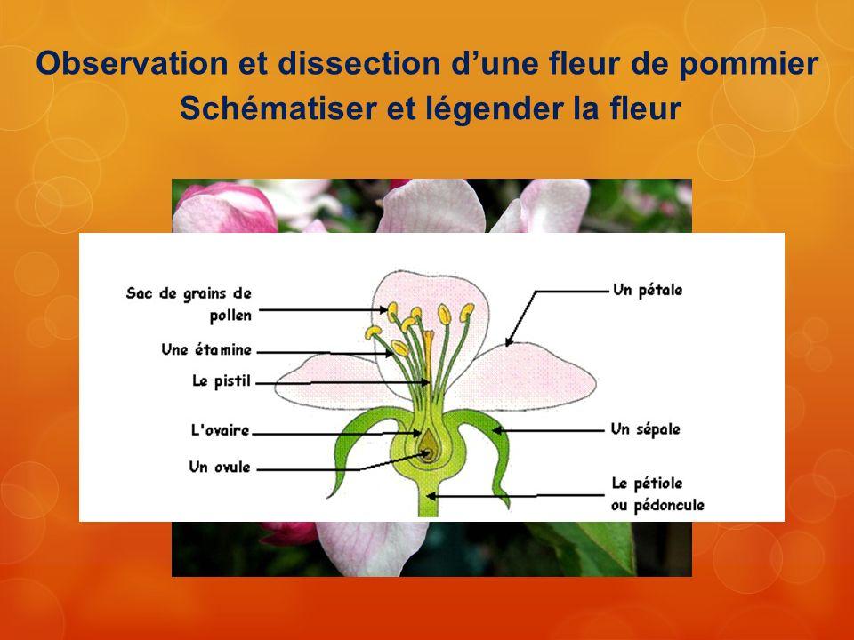 Observation et dissection dune fleur de pommier Schématiser et légender la fleur