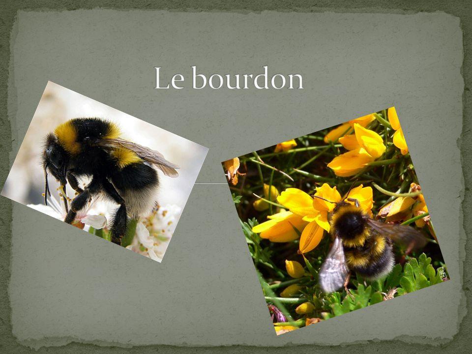 Premièrement, le bourdon est un insecte très robuste au corps couvert de poils jaune et noire.